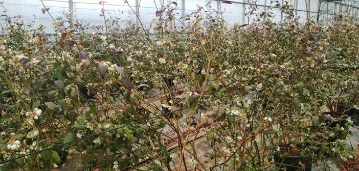 Deifil: aberto o período de reservas de plantas de mirtilo para o outono